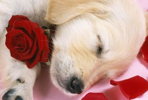 Goden Retriever Dog - puppy asleep with rose & petals