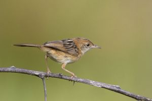Golden-headed Cisticola - perched on a twig