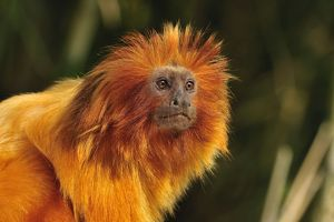 Golden Lion Tamarin / Golden Marmoset - portrait