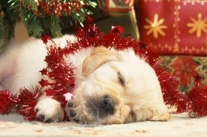 Golden Retiever Dog - puppy asleep under Christmas tree with tinsel