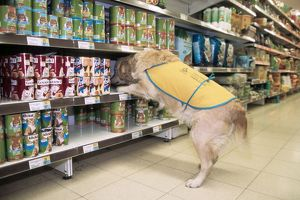 Golden Retriever - aid dog assisting in supermarket