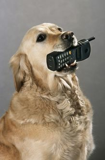 Golden Retriever - aid dog carrying a cell phone in mouth
