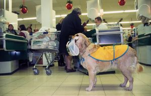 Golden Retriever as aid dog with supermarket bag in muzzle in shop wearing special coat