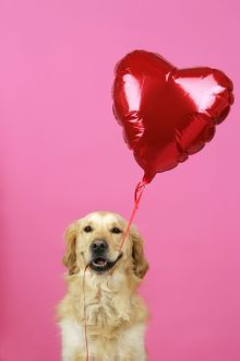 Golden Retriever Dog - holding heart shaped balloon