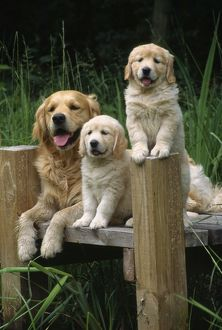 Golden Retriever Dog - with puppies