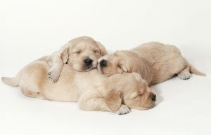 Golden Retriever Dog - Puppies asleep, 3 weeks old. Against yellow background