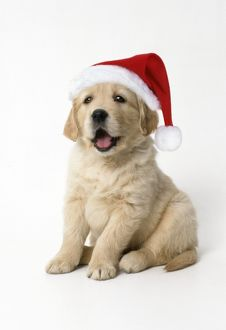 Golden Retriever Dog - puppy 7 weeks old, Wearing Christmas hat.