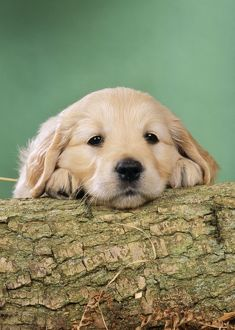 Golden Retriever Dog - Puppy with head on log