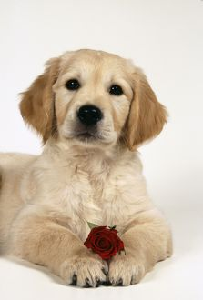 Golden Retriever Dog - Puppy with rose against a yellow background