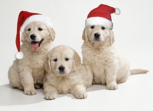 Golden Retriever Dog - x3 puppies 8 weeks old, 2 wearing Christmas hats.