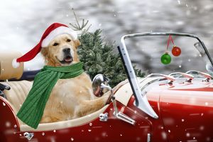 christmas/golden retriever dogs driving car wearing christmas