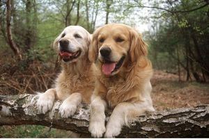 Golden Retriever Dogs - two on forest walk. Resting with