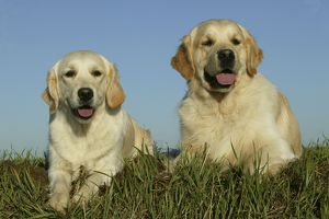 Golden Retriever Dogs - Two lying down together