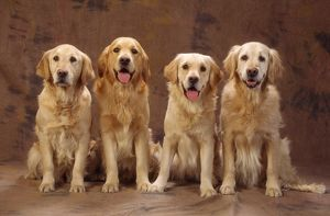GOLDEN RETRIEVER DOGS - x four, sitting in a row