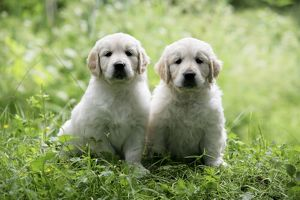 Golden Retriever puppies sitting on bank of pond - 7 weeks