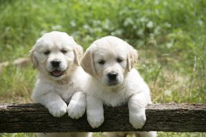 Two Golden Retriever puppies standing looking over gate - 7 weeks