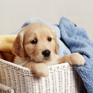 Golden Retriever - puppy in laundry basket, with towels