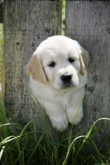 Golden Retriever puppy looking through hole in fence - 7 weeks