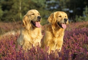 Golden Retrievers DOGS - two sitting amongst heather