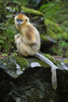 Golden Snub-nosed Monkey