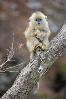 Golden Snub-nosed Monkey - baby