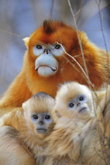 Golden Snub-nosed Monkey - male with babies