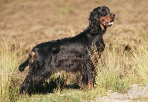 Gordon Setter Dog - side view
