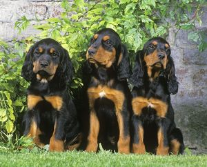 Gordon Setter Dogs - 3 Puppies sitting together