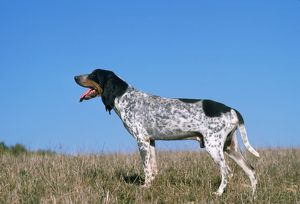 Grand Bleu de Gascogne / Blue Gascony Hound Dog