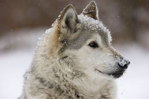 Gray / Grey / Timber Wolf - male in snow
