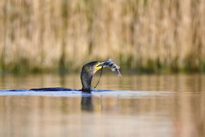 Great Cormorant - female just emerged from a dive