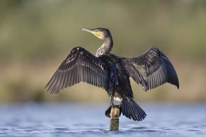 Great Cormorant - female with wings outstretched to dry