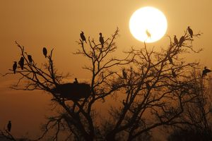 Great Cormorant perched on a tree at sunset