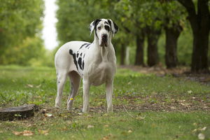 Great Dane Dog outdoors