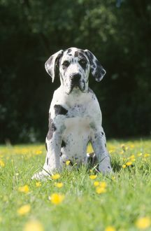 Great Dane Dog - puppy