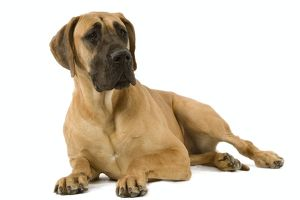 Great Dane. Also known as German Mastiff / Dogue Allemand / Deutsche Dogge