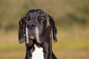 Great Dane - portrait - Germany