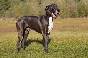 Great Dane - standing male - Germany