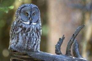 Great grey owl - On branch looking forward