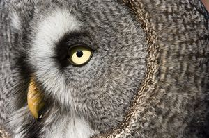 Great grey owl - Close-up of face. Adult