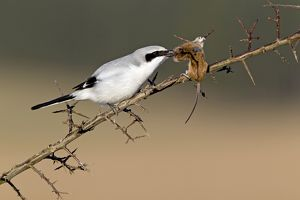 Great Grey Shrike - with impaled mouse on thorn branch