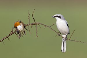 Great Grey Shrike - with impaled robin on thorn branch