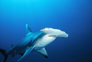 Great Hammerhead SHARK - front-view of back, with light-spot