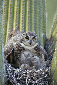 Great Horned Owl - with young in nest in Saguaro Cactus