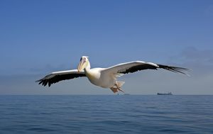 Great White Pelican - In flight over the Atlantic - Commercial ships on the horizon