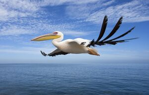 Great White Pelican - In flight over the Atlantic Ocean near Walvis Bay