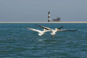 Great White Pelicans - pair in flight with the Pelican Point Light House in the background