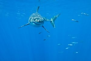 Great White Shark - male