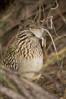Greater Roadrunner - Swallowing a rodent
