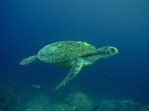 Green Turtle - A female drifting along the reef edge waiting for high tide at night to go ashore